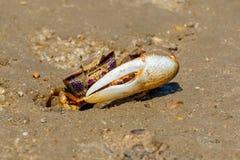 Maschio su Ria Formosa, Portogallo del granchio di Fiddler immagine stock