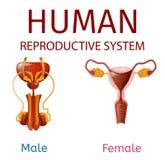 Maschio umano del sistema riproduttivo ed organi genitali femminili illustrazione vettoriale