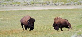 Maschio vispo e femmina Bison During la carreggiata Fotografie Stock