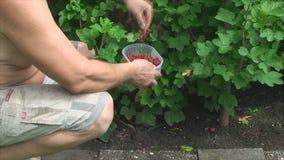 Maschio vomita rossa, ribes in giardino Royalty Free Stock Images