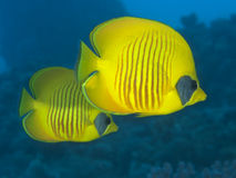 Mascked butterflyfish Royalty Free Stock Photos