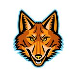 Coyote Head Front Mascot. Mascot icon illustration of head of a coyote or Canis latrans, a canine native to North America viewed from the front on isolated Royalty Free Stock Photography