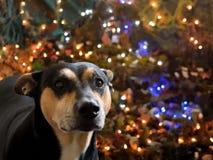 Mascota dulce en la Navidad Fotografía de archivo