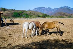 Mascota Jalisco Mexico, horses are grazing in the field in the morning. Mascota Jalisco, is a magical town in Mexico that has beautiful natural landscapes and royalty free stock photos