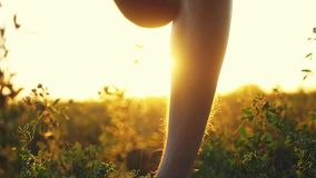 Masculine feet go barefoot to the soft grass through the sun during amazing sunset with lense flare effects in slow. Masculine feet go barefoot to the soft grass stock video footage