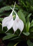 Masdevallia d'orchidée, tovarensis de Masdevallia photos stock