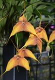 Masdevallia Hybrid Orchid Stock Photography