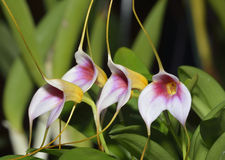 Masdevallia Orchid Hybrid Royalty Free Stock Image