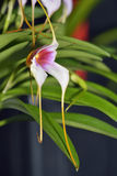 Masdevallia-Orchideen-Kreuzung Lizenzfreie Stockfotografie