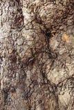 Masern Sie der Hintergrund-Ergebnisse der Baumrindebeschaffenheit alte graue braune Eiche sehr Stockfotografie