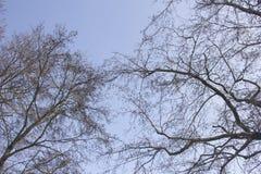 Masern Sie dunkle Niederlassungen von Bäumen gegen den blauen klaren Himmel an einem kalten Wintertag Lizenzfreie Stockfotos