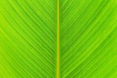 Masern Sie grünes Bananenblatt von Calathea-lutea (Aubl ) Mey-Baum stockfoto