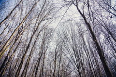 Masern Sie Hintergrund, Baum ohne Blätter gegen den Himmel Lizenzfreie Stockfotografie