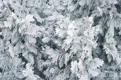 Masern Sie Hintergrund von natürlichen Kiefernnadeln Thujaanlagen im Frost Lizenzfreie Stockbilder