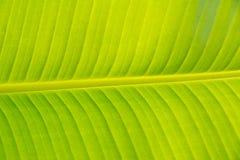 Masert Bananenblatt Stockbild