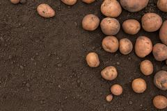 Masert viel von den frischen ungeschälten Kartoffeln, die von der FI geerntet werden Lizenzfreie Stockfotos