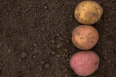 Masert viel von den frischen ungeschälten Kartoffeln, die von der FI geerntet werden Lizenzfreies Stockbild