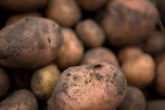 Masert viel von frischen Kartoffeln mit Boden auf Oberteil geerntetem f Lizenzfreie Stockbilder