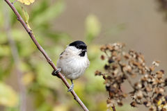 Mash tit, Parus palustris Royalty Free Stock Photos
