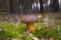 Mashroom. Boletus badius. Stock Photography