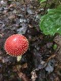 Mashroom d'agaric de mouche d'amanite dans la forêt Image libre de droits