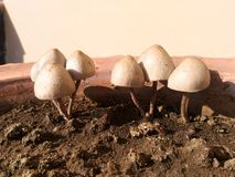 Mashroom royalty free stock image