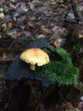 Mashroom sur la mousse dans la forêt Photos stock
