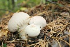 mashrooms Fotografia Stock
