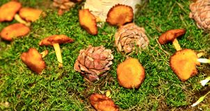 Mashrooms and cones. Close up Royalty Free Stock Photo