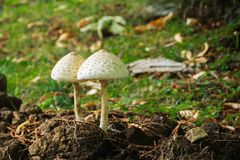 Mashrooms in the forest Macrolepiota procera. Two mashrooms in the forest Macrolepiota procera Stock Photography