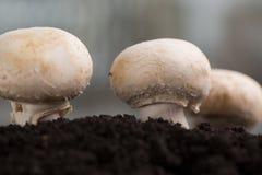 Mashrooms freschi nella terra immagini stock