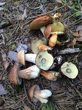 Mashrooms in het bos Royalty-vrije Stock Foto