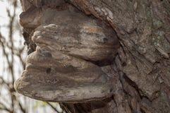 Mashrum del parassita fotografia stock libera da diritti