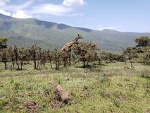 Masi Giraffe Grazing auf Akazien-Bäumen in den Ngorongoro-Hochländern, Tansania stockbilder