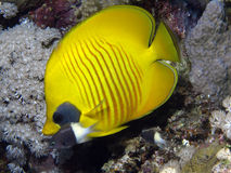 Masked angel fish. In the red sea Royalty Free Stock Photos