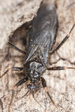 Masked Assassin Bug (Reduvius personatus) Stock Photos