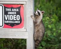Masked Bandit Raccoon Climbing Video Surveillance Security Sign. A `masked bandit` who doesn`t care about the surveillance at Lynde Shores Conservation Area in Royalty Free Stock Photos
