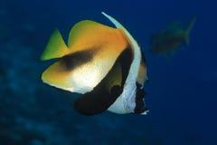 Masked bannerfish Stock Photography