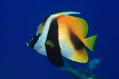 Masked bannerfish Royalty Free Stock Image