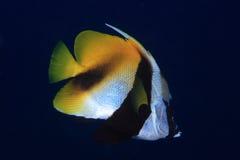 Masked bannerfish Stock Images