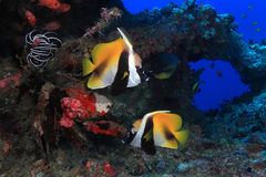 Masked bannerfish. (Heniochus monoceros) in the tropical waters of the ocean Stock Photos