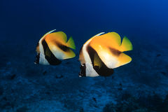 Masked bannerfish. (Heniochus monoceros) in the tropical waters of the ocean Stock Image