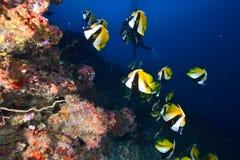 Masked bannerfish stock image