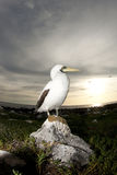 Masked booby royalty free stock image