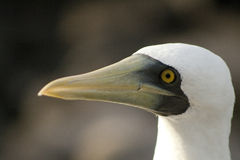 Masked booby Royalty Free Stock Photo