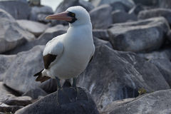 Masked Booby. A Nazca Booby in the Galapagos islands Stock Photos