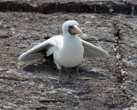 Masked Booby Bird Chick on the Galapagos Islands