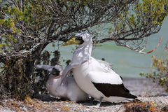 Masked Booby Bird With a Chick. Royalty Free Stock Images
