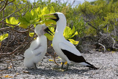 Masked Booby Bird Mother with a Chick . Royalty Free Stock Photos