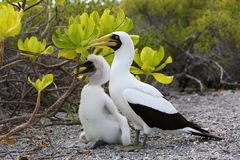 Masked Booby Bird Mother with a Chick . Royalty Free Stock Images